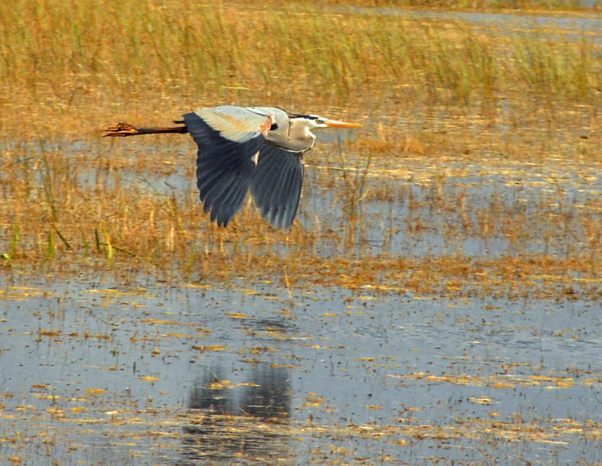 Great blue heron flying over the Everglades